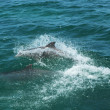 Bottlenose Dolphins — Stock Photo #28378875