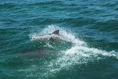Bottlenose Dolphins — Stock Photo