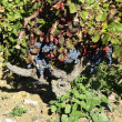 Red wine grapes on the vine in a sunny vineyard — Stock Photo