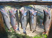 Alaskan silver salmon catch — Stock Photo