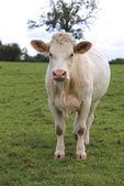 Charolais cow grazing on pasture in Burgundy, France — Zdjęcie stockowe