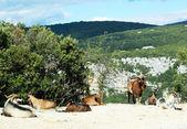 Bergziegen in der ardeche-schlucht, frankreich — Stockfoto