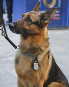 NYPD transit bureau K-9 German Shepherd providing security on Broadway during Super Bowl XLVIII week in Manhattan — Stock Photo