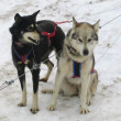 Stock Photo: Alaskhuskies in musher camp ready for dog sledding