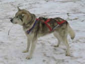 Alaskan husky in musher camp ready for dog sledding — Foto de Stock