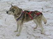 Alaskan husky in musher camp ready for dog sledding — Foto Stock