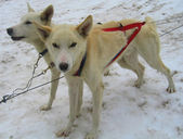Young Alaskan huskies in musher camp ready for dog sledding — Foto de Stock