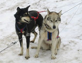 Alaskan huskies in musher camp ready for dog sledding — Foto Stock