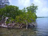 Mangroven in belize — Stockfoto