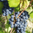 Ripe Wine Grapes On The Vine — Stock Photo #41597751
