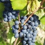 Ripe Wine Grapes On The Vine — Stock Photo