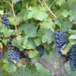 Ripe Wine Grapes On The Vine — Stock Photo
