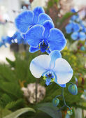 Beautiful Blue Phalaenopsis Orchid — Stock Photo