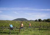 Workers pruning wine grapes in vineyard — Stock Photo