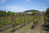 Typical landscape with rows of grapes  in the wine growing region of Napa Valley — Stockfoto