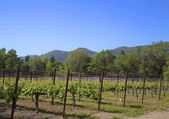 Rows of grapes  in the wine growing region of Napa Valley — Stock Photo
