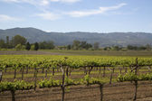Typical landscape with rows of grapes  in the wine growing region of Napa Valley — Stock Photo