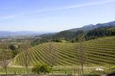 Tipico paesaggio con filari di uva nella regione della valle di napa viticola — Foto Stock