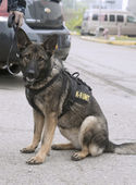 US Navy K-9 German Shepherd providing security during Fleet Week 2014 — Stock Photo