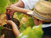 Boy harvesting the grape — Stock Photo