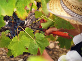 Boy harvesting the grape — Stock Photo