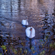 Two swans on river Alzon in Uzes — Zdjęcie stockowe #18220253