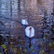 Foto de Stock  : Two swans on river Alzon in Uzes