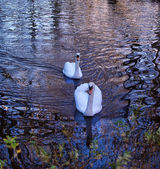 Two swans on the river Alzon in Uzes — Stock Photo