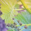 Постер, плакат: Growing grapes: Spring Vine Closeup