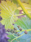 Growing grapes: Spring Vine Closeup — Foto de Stock