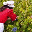 Harvesting grapes — Stock Photo
