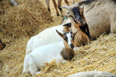 Goats at the farm — Stock Photo