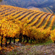 Vineyard Landscape in autumn — Stock Photo