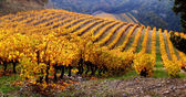 Vineyard Landscape in autumn — Stock Photo