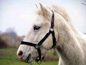 白い馬の肖像画 — ストック写真