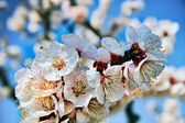 Spring: Cherry Blossom — Stock Photo