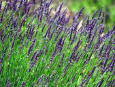 Lavender cultivated field in Provence — Stock Photo