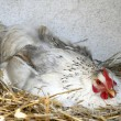 Chicken in nest - Stock Photo