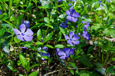 Periwinkle flower — Stock Photo