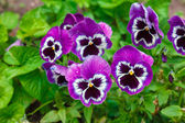 Violet purple flowers — Stock Photo