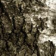 Birch texture — Stock Photo
