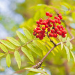 A cluster of ashberry — Stock Photo