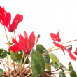 Red cyclamen flower, Isolated — Stock Photo