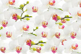 White orchid isolated, flower background — Stock Photo