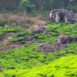 Stock Photo: Teplantations, Kerala, India
