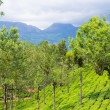 Stock Photo: Landscape of teplantations Kerala