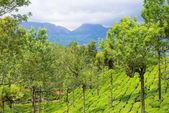 Landscape of the tea plantations Kerala — Stock Photo