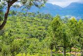 Tea plantations Munnar, Kerala, India — Stock Photo