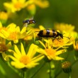 Insect on a yellow flower,  background - 图库照片