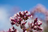 Flower of a origanum on blue, background — Stock Photo